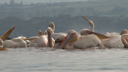 Pelicans bathing in a lake Footage