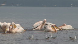 Pelicans in a lake washing themselves off the saline water Footage