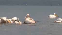Pelicans splashing water with their very large wings Footage