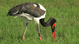 Saddle bill stork catching fish Footage