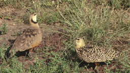 Sandgrouse singing Footage