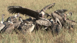 Serious fight of vultures in a kill Footage
