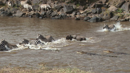 Several crocodiles try hunting zebras during a crossing, one Footage