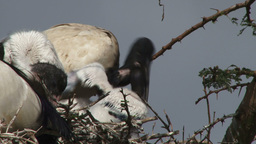 Side view of ibis feeding babies Footage
