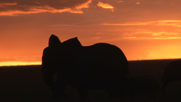 Silhouettes of elephants passing before sunset Footage