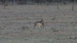 Silver backed jackal carrying a baby gazelle Footage