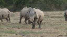 Two black rhinos aproaching the camera Footage