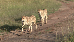 Two brother cheetahs walking Footage