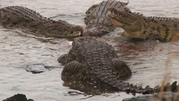 Two crocodiles stealing a meal from fighting crocs Footage