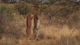 Two gerenuk antelopes standing on two legs to feed Footage