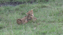 Two lion cubs playing Footage