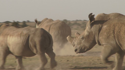 Two rhinos galloping after each other in a terific speed Footage