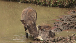 Two warthogs grooming in a muddy pool Footage