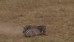 Violent fight of zebras Footage