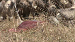 Vultures come down and eat a dead baby zebra Footage