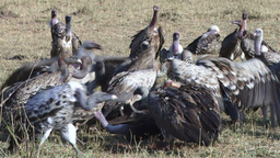 Vultures on a kill in mara Footage