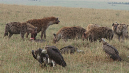 Vultures waiting for their turn to eat as hyenas eat dead animal Footage