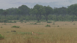 Warthog grazing without knowing a lion is hunting her Footage