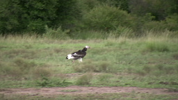 White headed vulture Footage