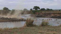 Wildebeests Crossing The River On A Dusty River Bed stock footage