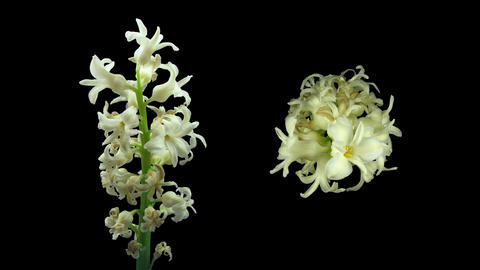 Time-lapse dying white hyacinth Christmas flower 4K with ALPHA channel Footage