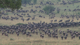 Wildebeests migrating through a valley Footage