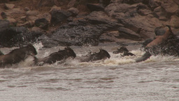 Wildebeests scramble for space at exit point after crossing mara river Footage