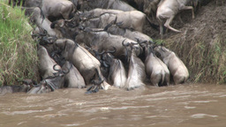 Wildebeests trapped at the other bank after crossing river Footage