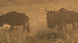 Wildebeests walking in the sunrise light Footage