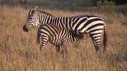 Zebra baby nursing Footage
