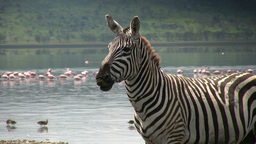 Zebra moving his lips as though talking to himself Footage