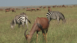 Zebras and topis in the plains Footage