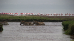 Zebras crossing a shallow lake with flamingos in the background Footage