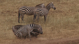 Zebras fighting 影片素材