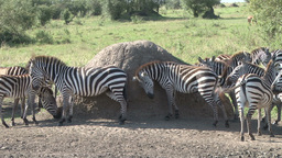 Zebras scrubbing in the bush影片素材