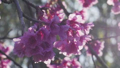 Pink flowers blossom and sunlight at garden Footage
