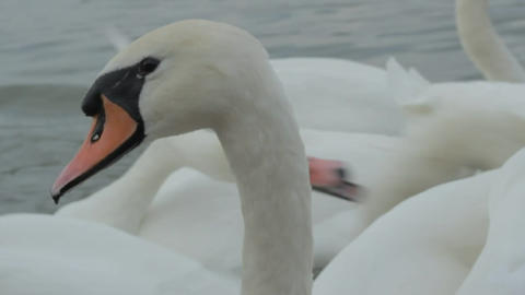Swans swim in the river Footage