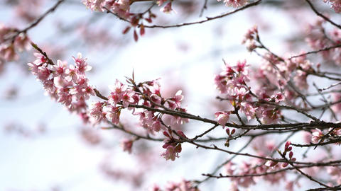 Sakura flowers in spring Footage