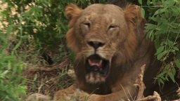 Zoom In Of A Lion Panting In The Hot Sun stock footage