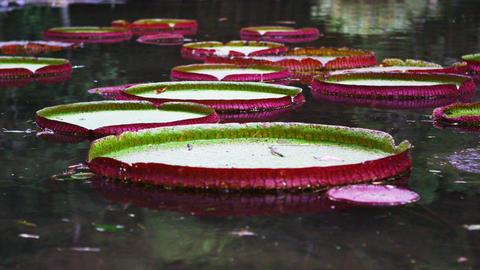 Pan shot of botanical garden waterlilies Footage