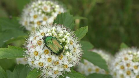 Beetle cetonia aurata Footage