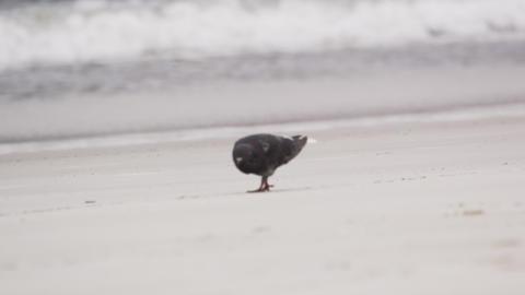Lone pigeon walking along the beach in Rio de Janeiro, Brazil Footage