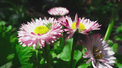 Green grasshopper on a daisy flower Footage