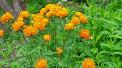 Trollius asiaticus orange flowers under rain Footage