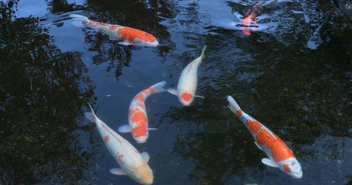 Swimming carp in the pond at Gyokuro village in Shizuoka Japan Footage