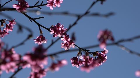 Sakura cherry blossom in spring on blue sky Footage