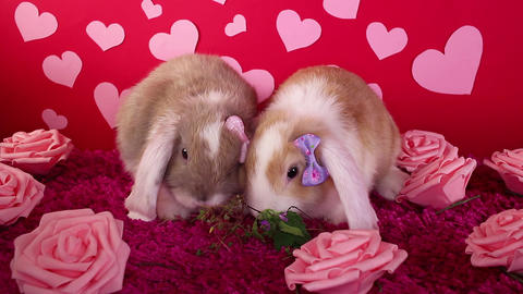 Valentine s day cute animals pets celebrate together. Valentines pet couple Live Action