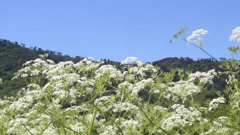 風に揺れるセリ科の花 ライブ動画
