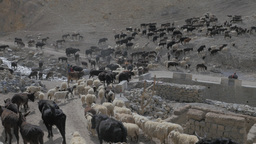 Herd of donkeys,goats,sheep,cows in the himalaya mountains,Kibber,India Footage