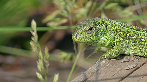 Sand Lizard Close Up Footage